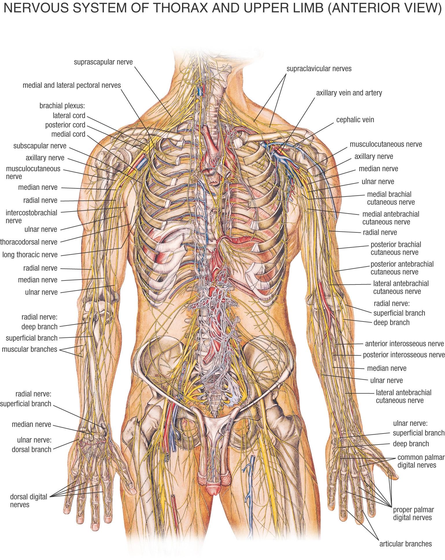 Human Anatomy Ken To Fude No Ryu Kenshu Kai Karate Soke Solly Said