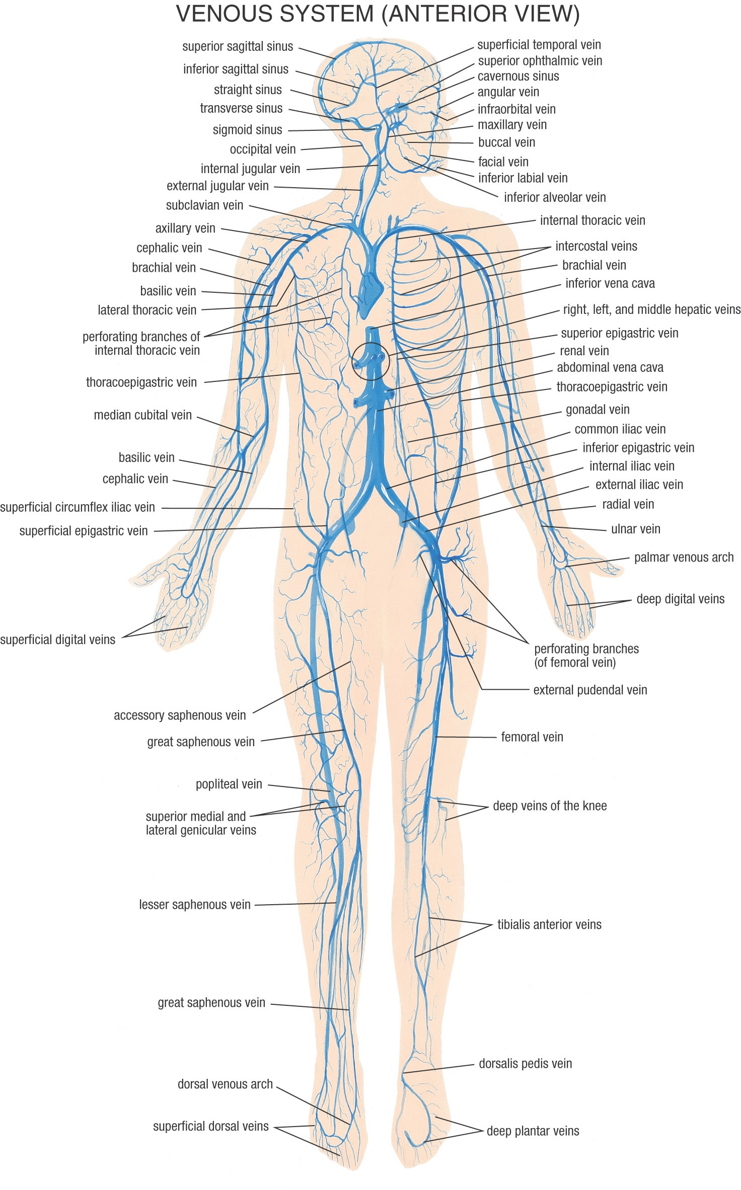 Humanbrain moreover 1595 in addition Details moreover Lab exercise 14 vessels in addition Arteries Of The Body Diagram. on artery of the brain labeling exercise
